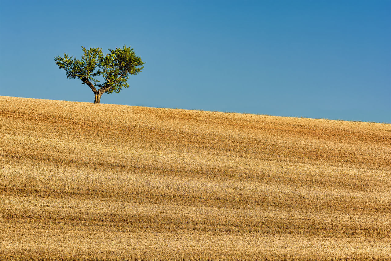 Summer. Agriculture Beauty In Nature Clear Sky Composition Contrast Day Field Growth Harvested Wheat Field Landscape Nature No People Outdoors Perfect Tree Rural Scene Scenics Sky Summer Tranquil Scene Tranquility Tree Silence Wheat Field Yellow Sommergefühle
