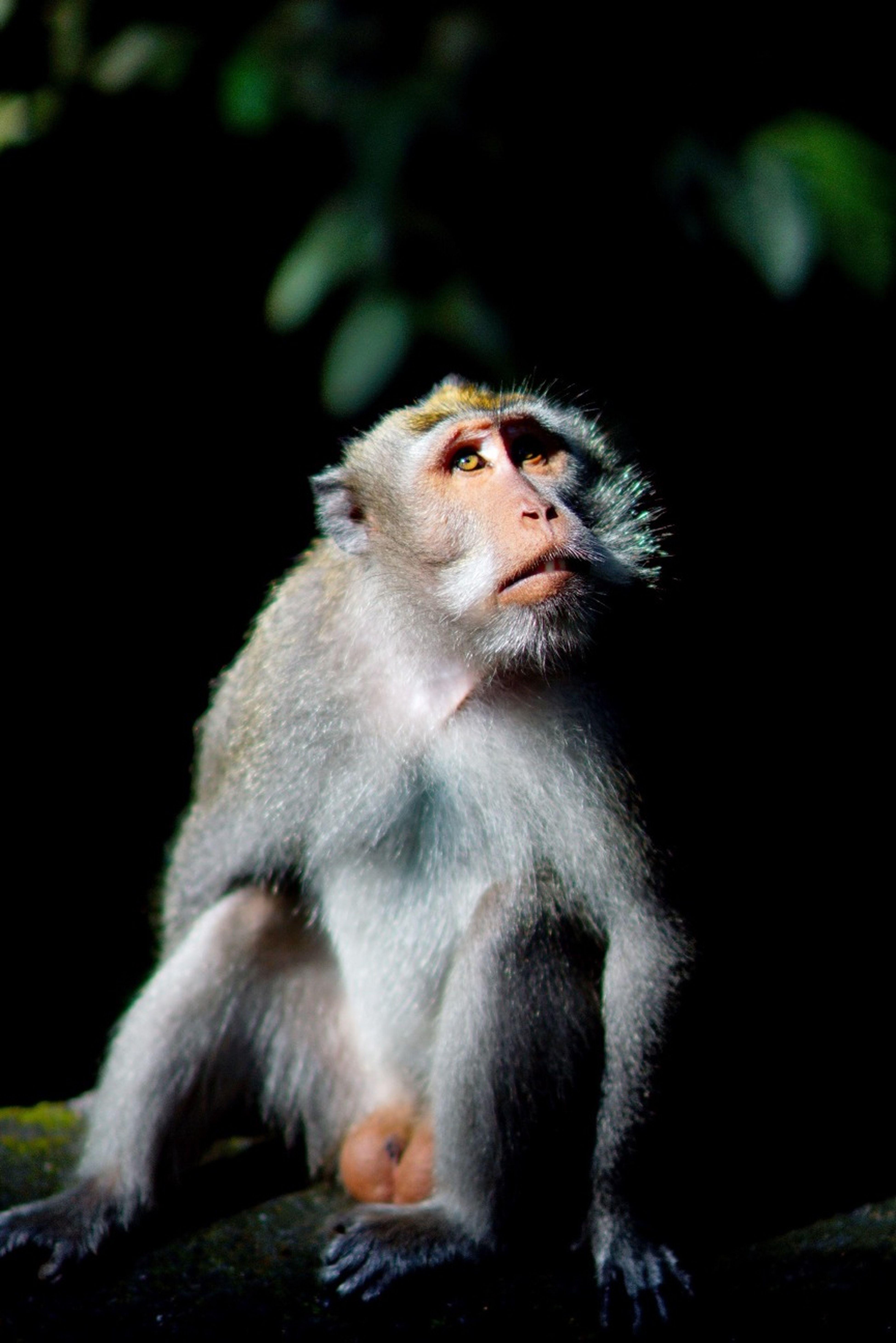 Male Monkey...got It?