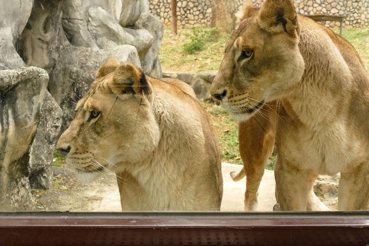 Allelomimetic Behavior Animal Family Animals Carnivore Lioness Look Mammal Mood Induction Outdoors Wildlife Wildlife & Nature Zoo