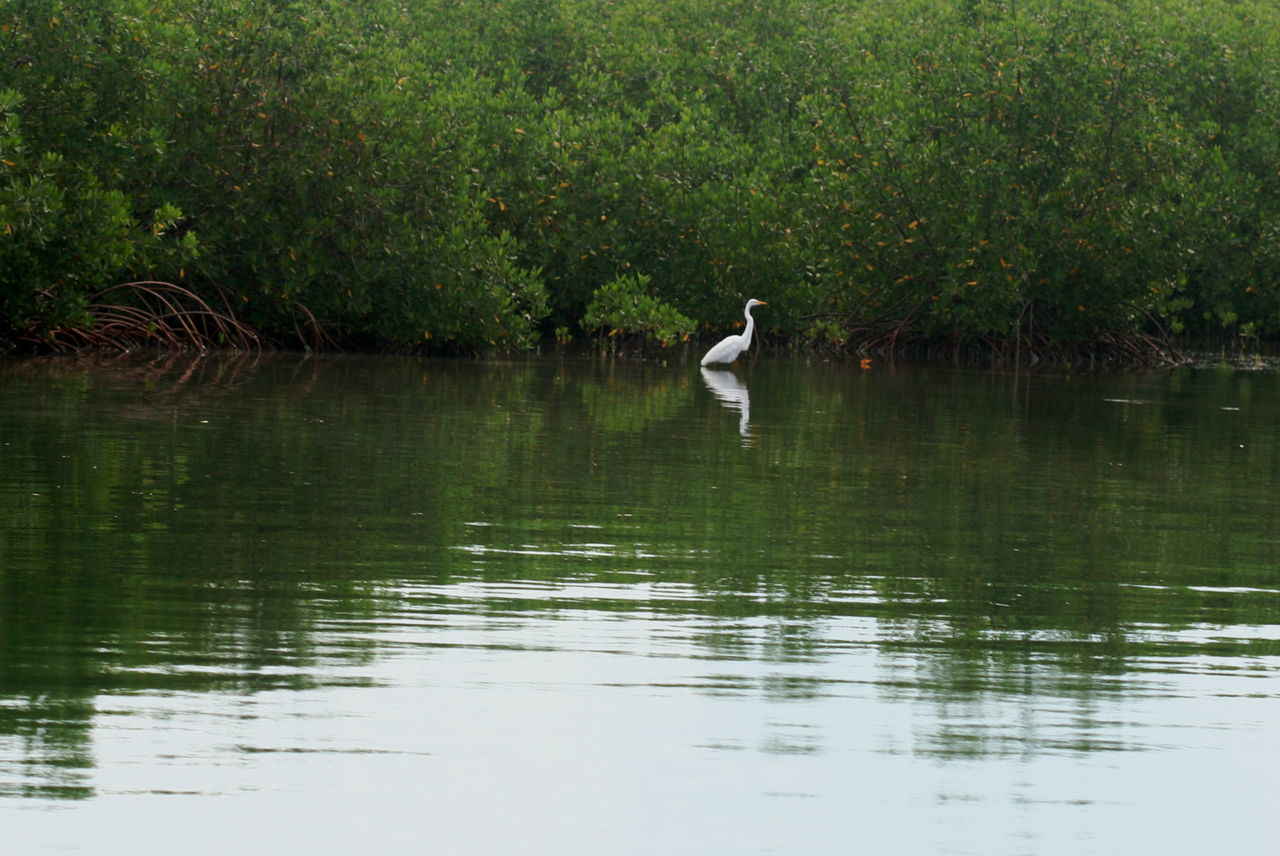 2010 Animal Themes Animal Wildlife Animals In The Wild Bird Cayo Largo Cuba Day Mangroves Nature No People One Animal Outdoors Reflection Water Waterfront