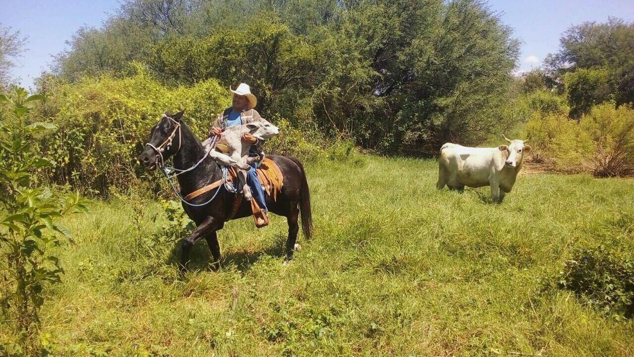 Vaca Becerro Vaquero Campo Verde Tranquilidad Fresco Caballo Montar Cow Calf Cowboy Field Green Calm Fresh Horse Horse Riding
