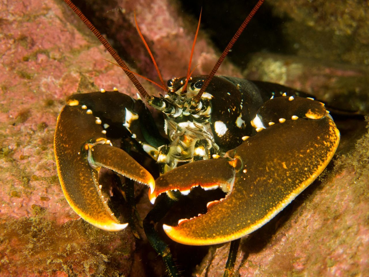 Beautiful stock photos of lobster, Animal Themes, Animals In The Wild, Close-Up, Lobster