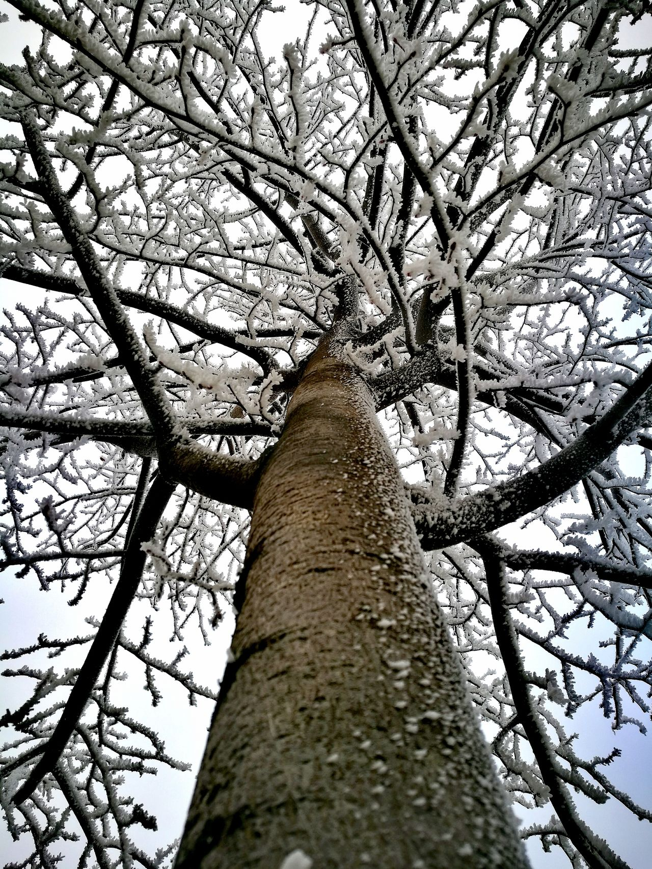 Tree Low Angle View Nature Tree Trunk Growth Beauty In Nature No People Sky Outdoors Branch Day Close-up Close Up Technology Cold Temperature EyeEmNewHere Winter Snow ❄ Nature Tree White White Color
