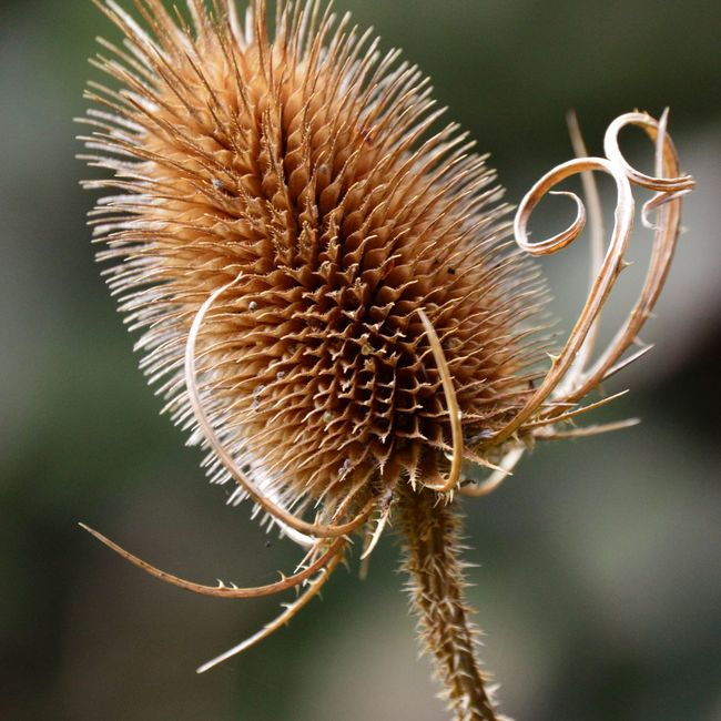 Nature Selective Focus Flower Dried Plant Close-up Focus On Foreground Growth Spiked Day Brown Thorn Thistle Nature Spiky New Life Needle - Plant Part Beauty In Nature Plant No People Nikonphotography Photooftheday Nikon