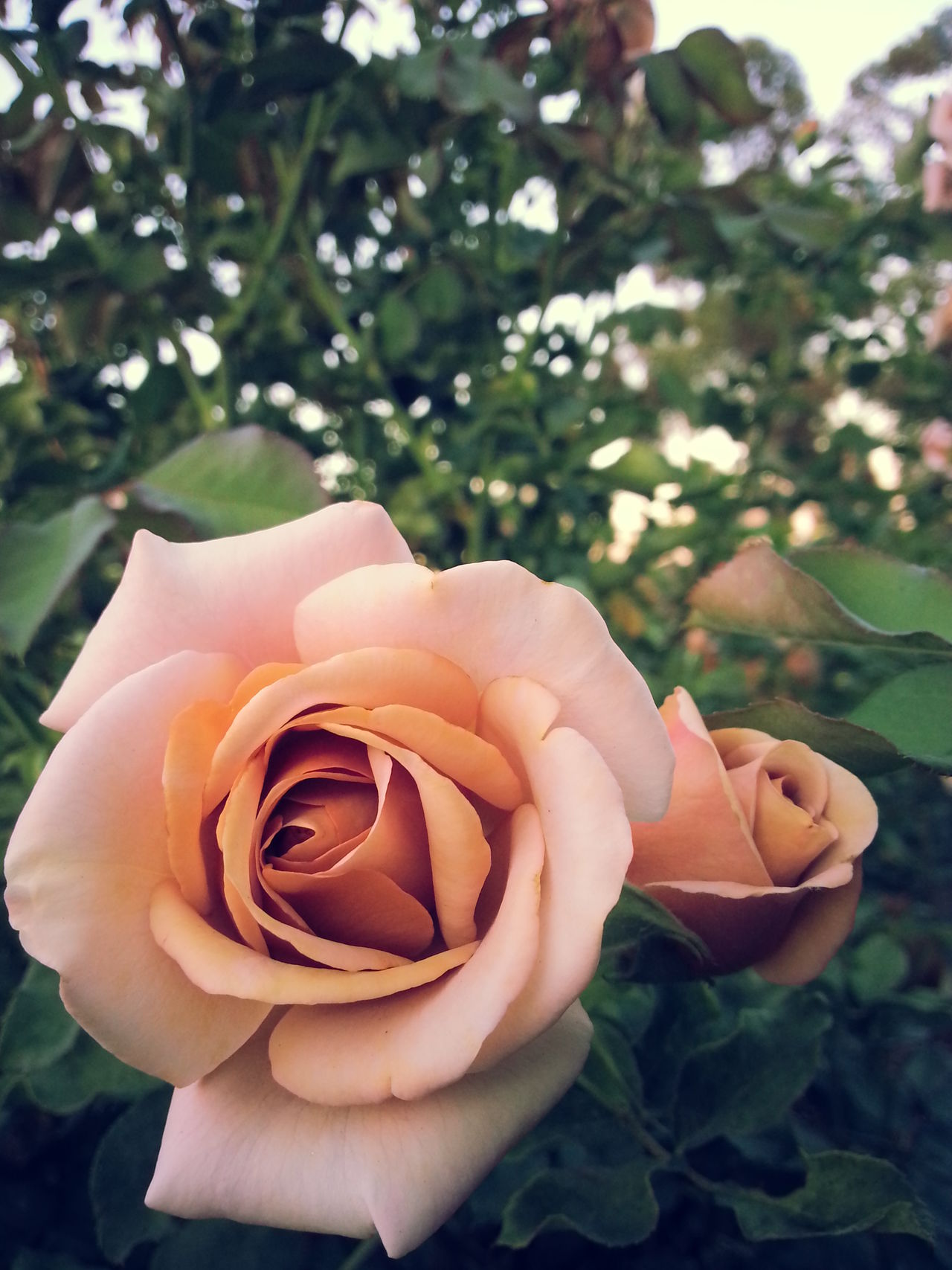 Balboa Park San Diego Blush Pink Close-up Flower Flower Head Mauve Pink Nature Petal Rose - Flower Rose Garden
