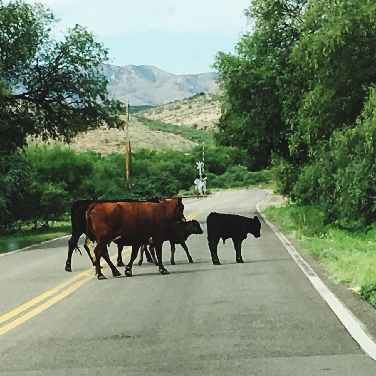 Cows Arizona Wildwest Rio Rico Roads Crossroads Crossing The Street Cows!!! Cowsofinstagram Cows Crossing Traffic Jam Traffic Jam. Patience Traffic Border Life Small Town Small Town USA Traffic Stop