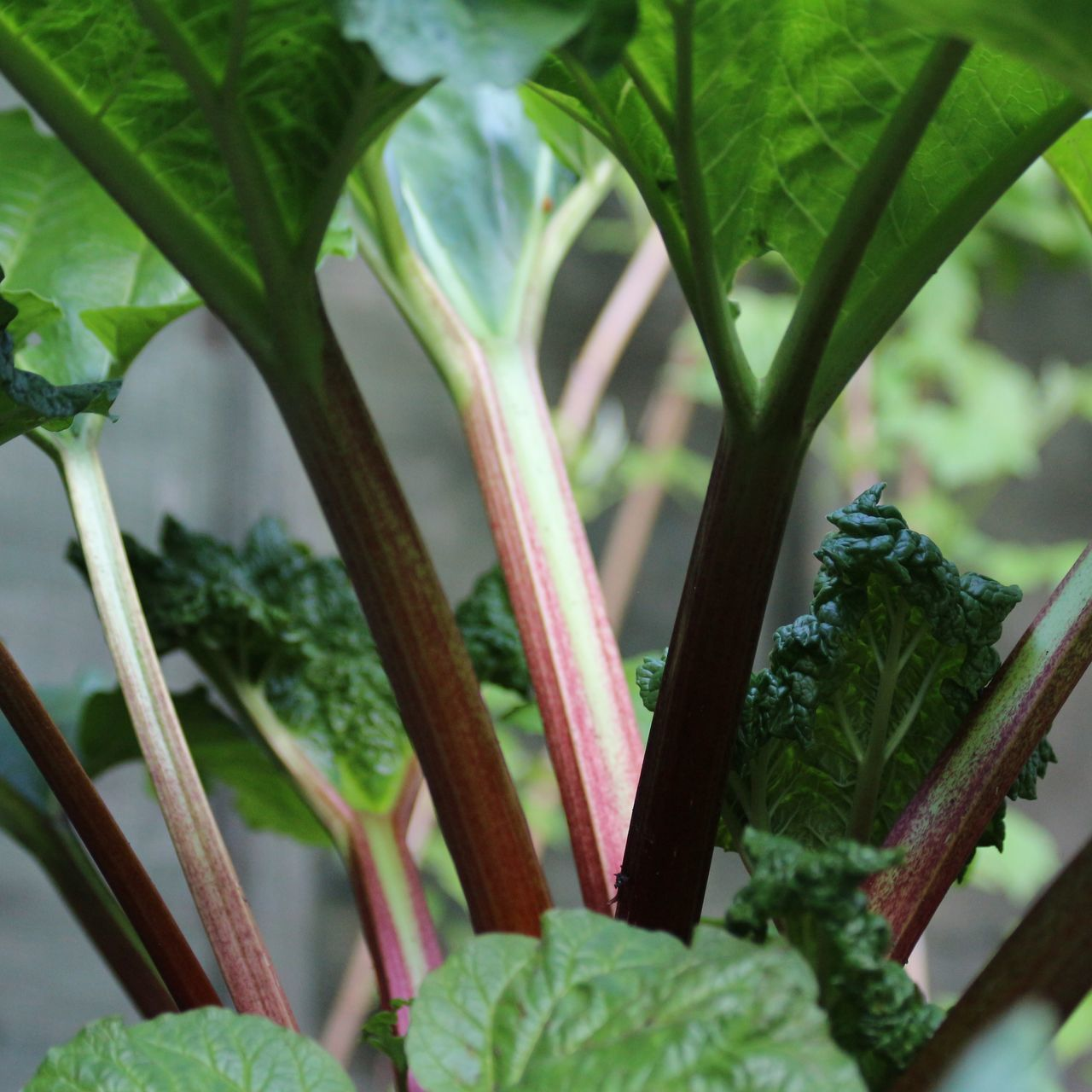 Rhubarb Rhubarb Leaves Rhubarb Stalk Rhubarb Plant Garden Planting Dirt Fruitgarden English Garden Macro Plants