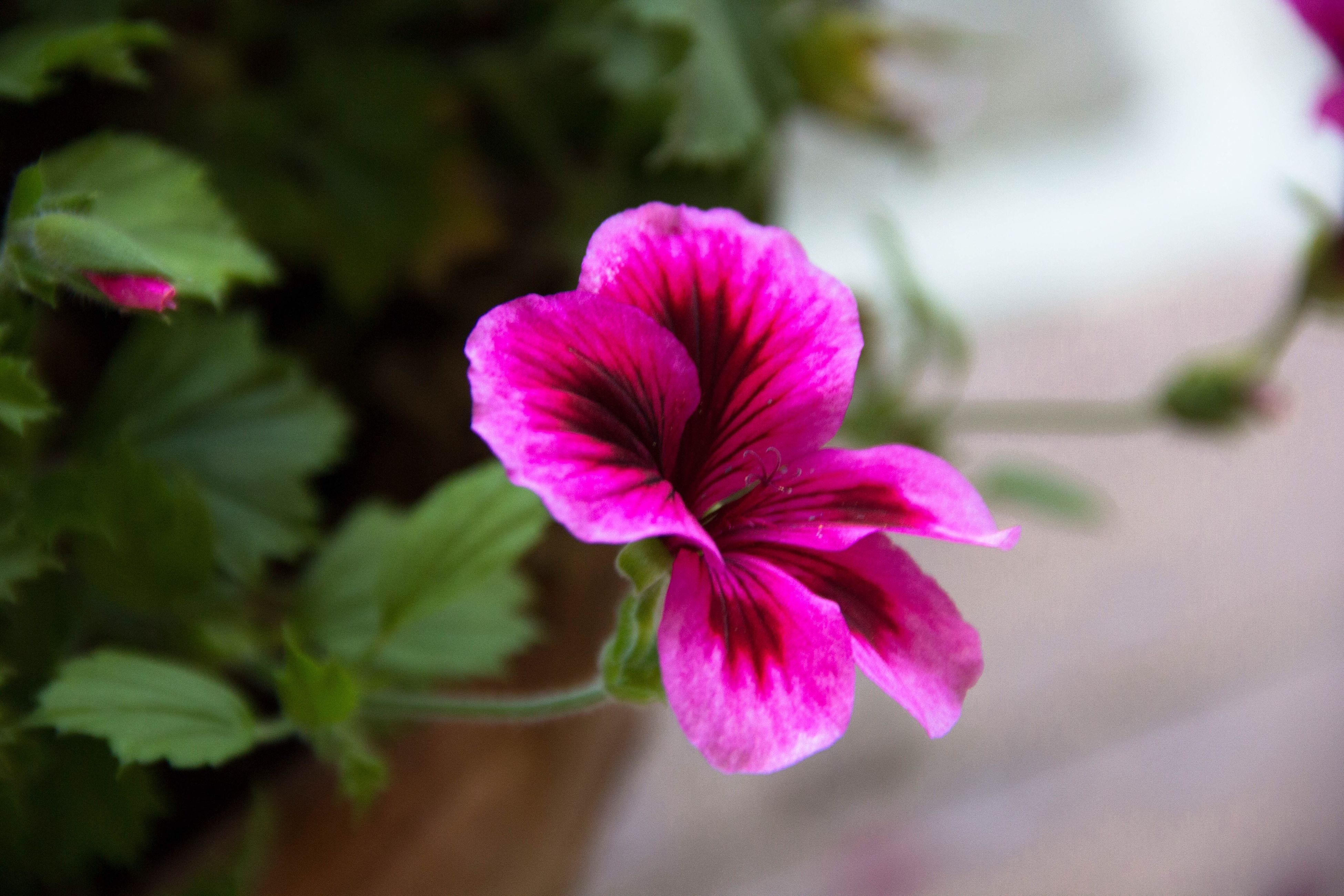 flower, freshness, petal, fragility, pink color, flower head, growth, close-up, beauty in nature, focus on foreground, nature, blooming, plant, selective focus, pink, in bloom, purple, blossom, stem, day, outdoors, no people, botany, stamen, pollen, softness