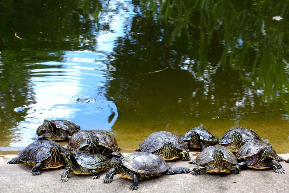 Beautiful stock photos of turtle, Animal Themes, Animals In The Wild, Day, Lake