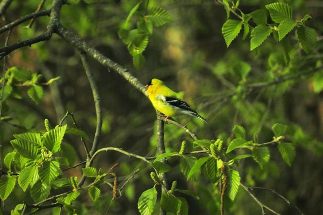 Gold Yellow Tree Leaves Bird Bird Photography Nature Nature Photography Showcase April Flight Goldfinch Gold Finch