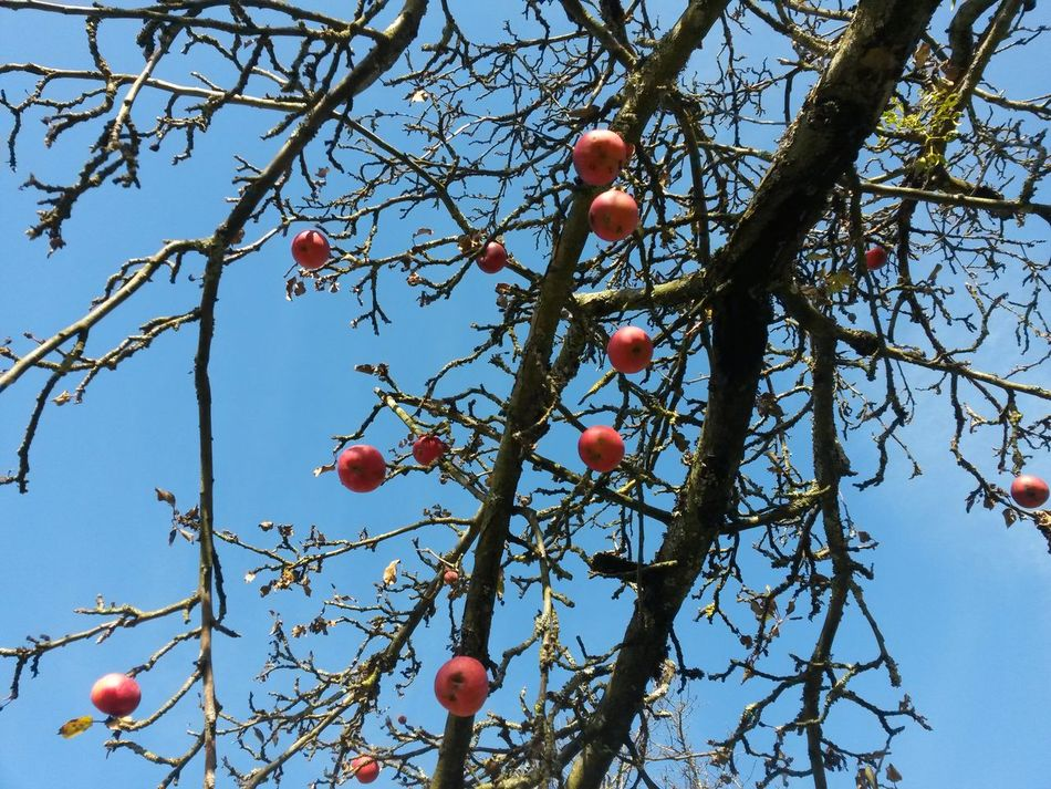 Fruit Tree Branch Growth Low Angle View Bare Tree Food And Drink Day Nature Outdoors No People Sky Close-up Beauty In Nature Apple Tree Red Apples Autumn Colors Autumn Trees November Blue Sky