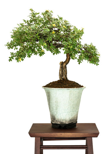 Cinquefoil (Potentilla) bonsai tree in a pot Nature Potentilla Bonsai Bonsai Tree Cinquiefoil Day Green Color Growth Nature No People Plant Pot Studio Shot Table Tree White Background White Isolated