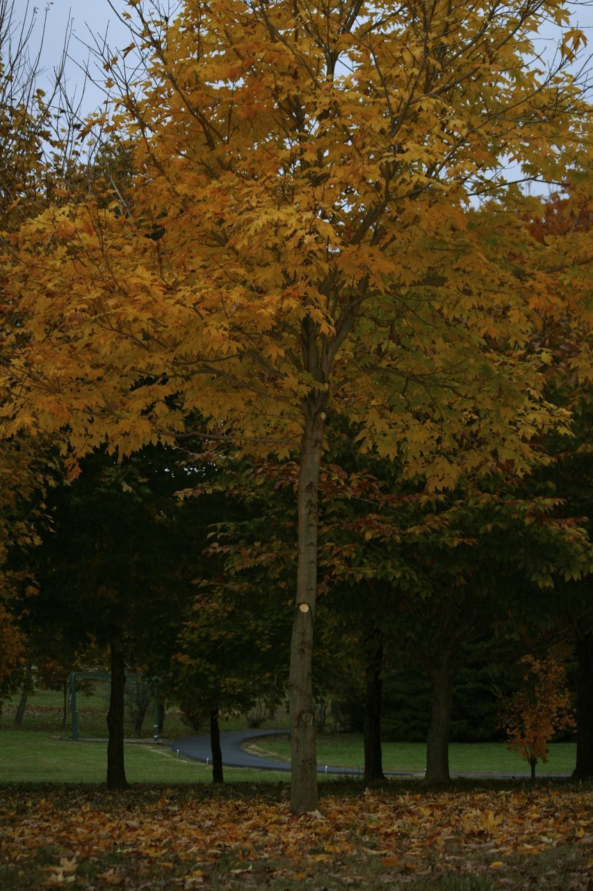 tree, autumn, leaf, change, nature, growth, tree trunk, branch, beauty in nature, forest, landscape, outdoors, day, scenics, no people