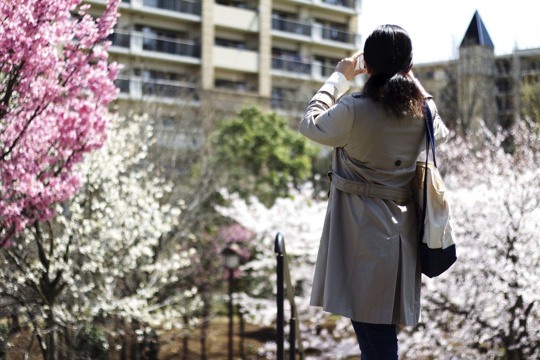 Cherry blossoms in Inzai Japan Sakura Inzai