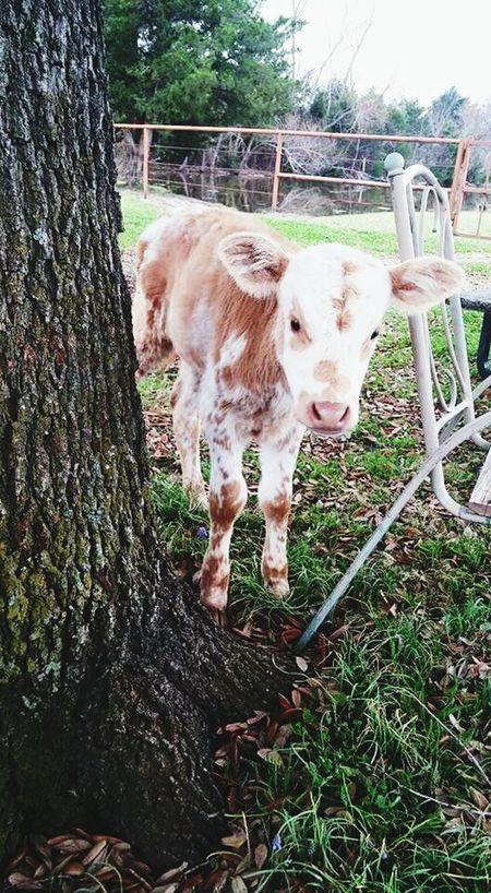 MOOMOO Cow Ennis Its Name Is Hope