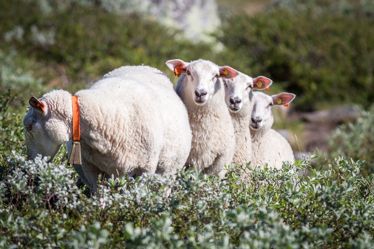 Animal Themes Beauty In Nature Bell Curious Day Domestic Animals Family Grass Grassland Hardangervidda Hey You In A Row Lamb Landscape Livestock Mammal Nature Nature No People Norway Outdoors Scared Sheep Small Whats Up