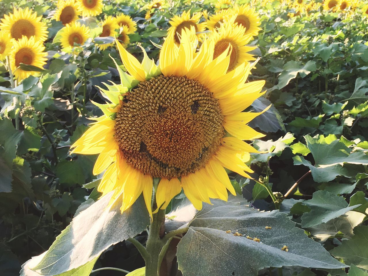 Happy Sunflower. Flower Yellow Fragility Growth Beauty In Nature Petal Freshness Flower Head Nature Plant Blooming Outdoors Sunflower No People Pollen Day Close-up Sunflower