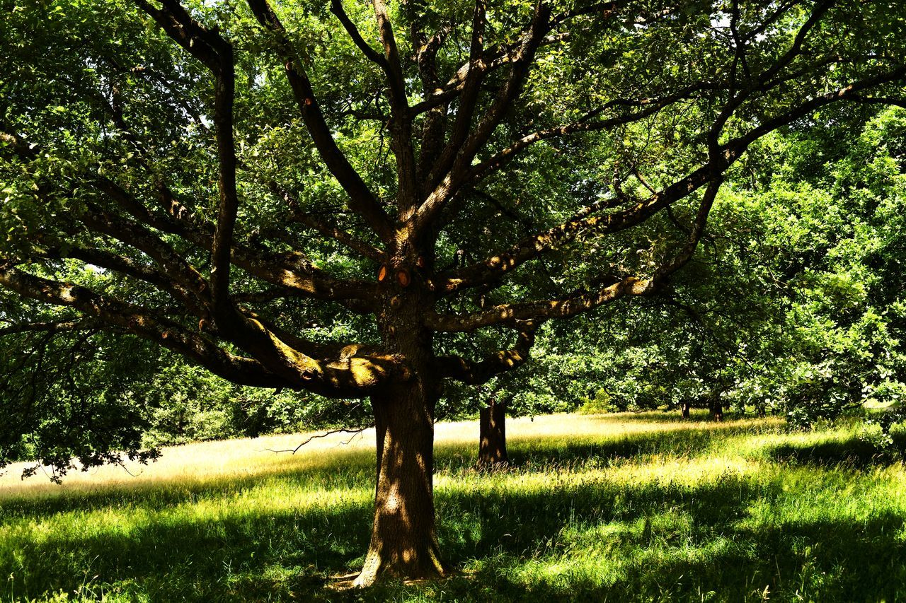 tree, grass, nature, tranquility, green color, growth, outdoors, no people, field, day, tree trunk, branch, landscape, beauty in nature