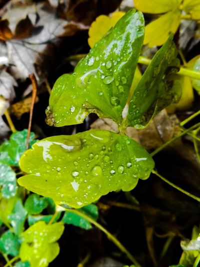 Wet Clover Clovers  Water Water Droplets Water Droplets On Clover Water Drops Green Shades Of Green  Natural Nature HD