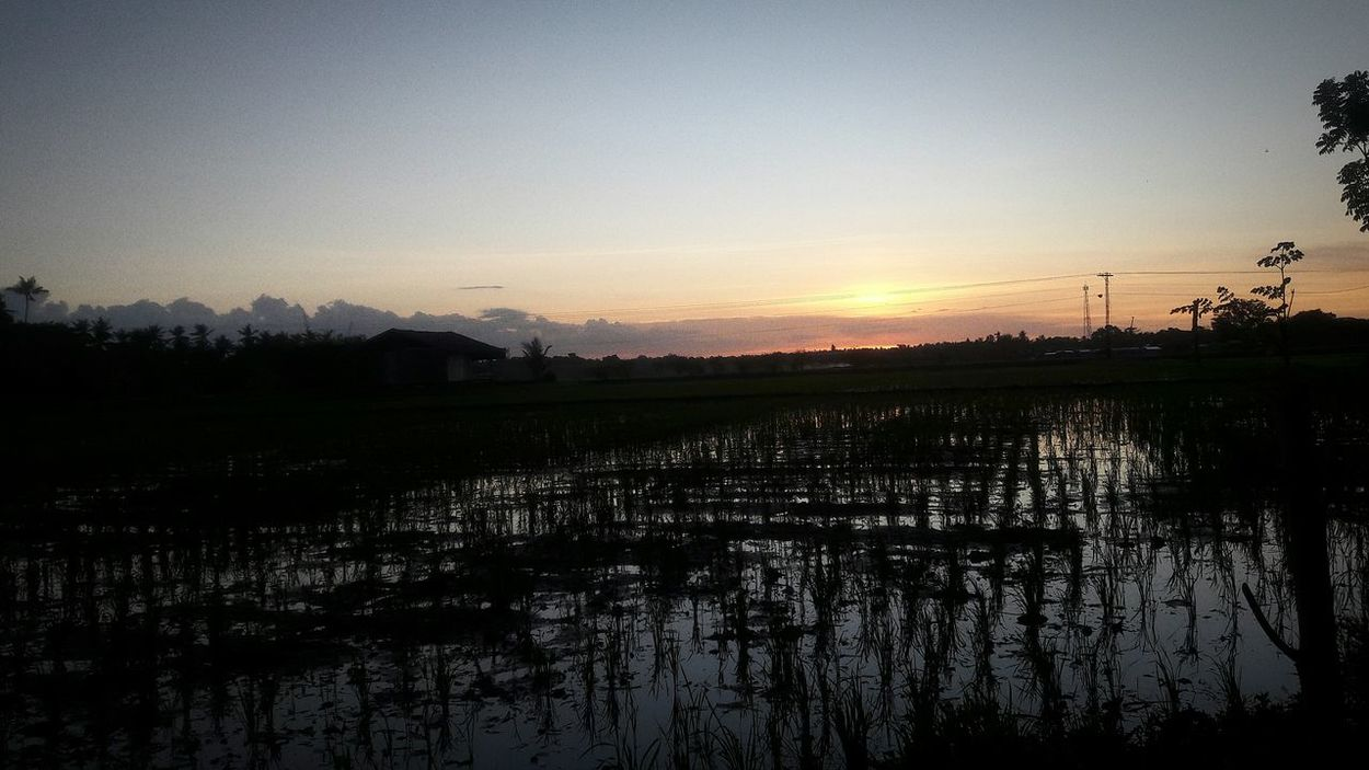 Beauty In Nature Rice - Cereal Plant Agriculture Nature No People Sunset Day