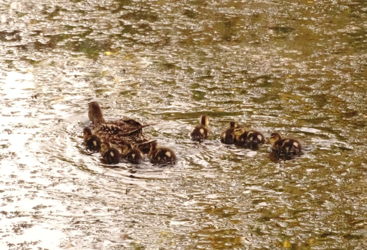 animals in the wild, animal themes, water, no people, swimming, nature, lake, animal wildlife, togetherness, outdoors, duckling, young animal, day