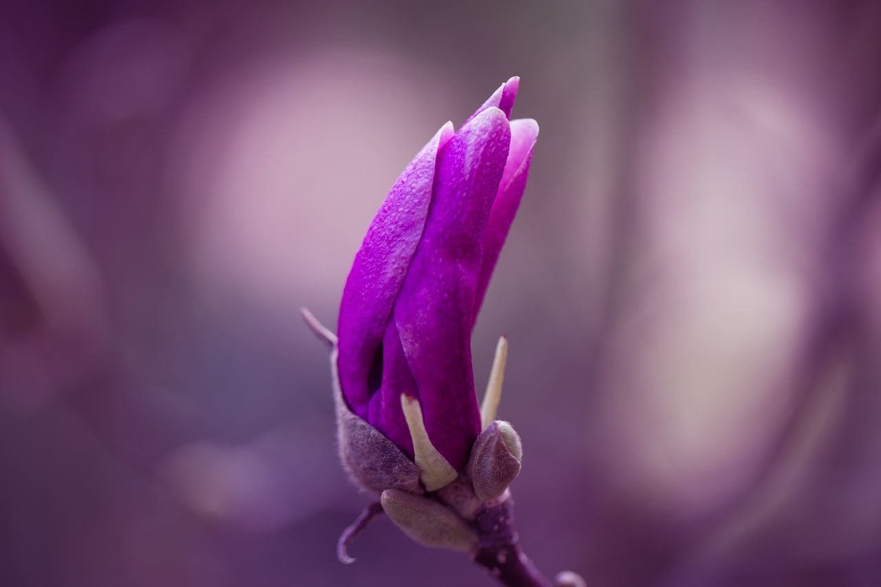 Magnolia flower Beautiful Blossom Flower Garden Magnolia Petal Purple Three
