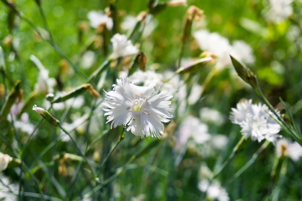Dianthus plumarius. View on white Flowers on a Field. Blooming Color Colors Common Dianthus Plumarius Field Flowers Fragile Fragility Garden Growing Growth Meadow Species Sunlight White Wild