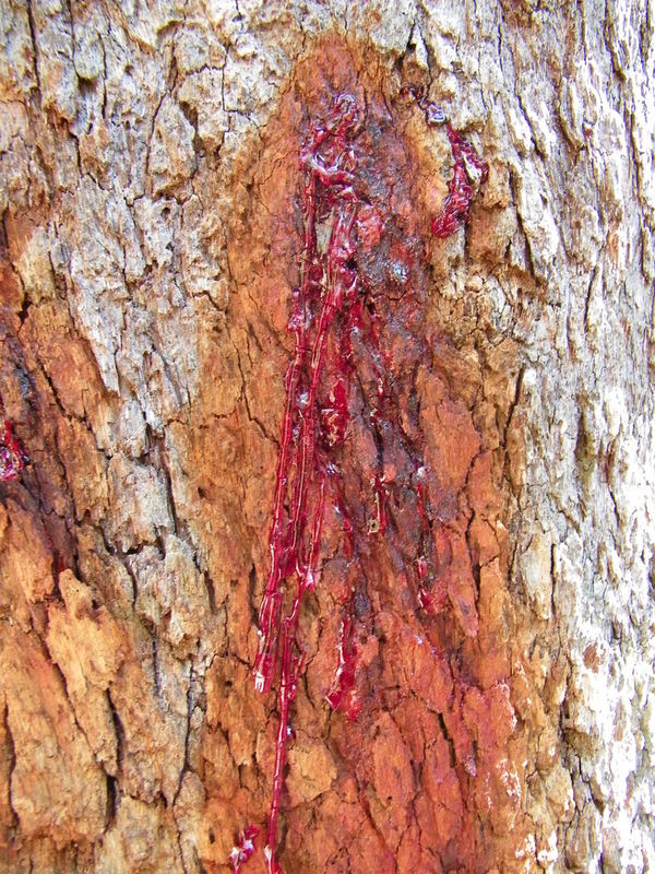 Australia Beauty In Nature Bleeding Close-up Cracked Day Nature No People Textured  Tree Tree Trunk Vibrant Color