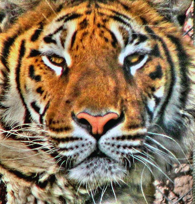 EyeEm Best Shots tiger Nature_collection animals Wildlife Photography Portrait EyeEmBestPics