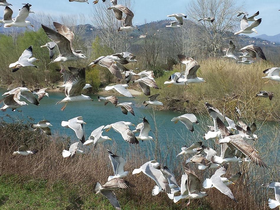 Seagulls - Serchio River Beauty In Nature Bird Birds Birds In Flight Birds_collection Flock Of Birds Flock Of Birds Flock Of Seagulls Flying Nature Seagulls Seagulls In Flight Zoology A Bird's Eye View