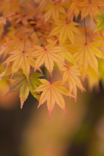 Autumn Autumn Leaves Abstract Close-up Leaves Leaves 🍁 Like A Curtain Maples Yellow 秋 紅葉 紅葉🍁 透光