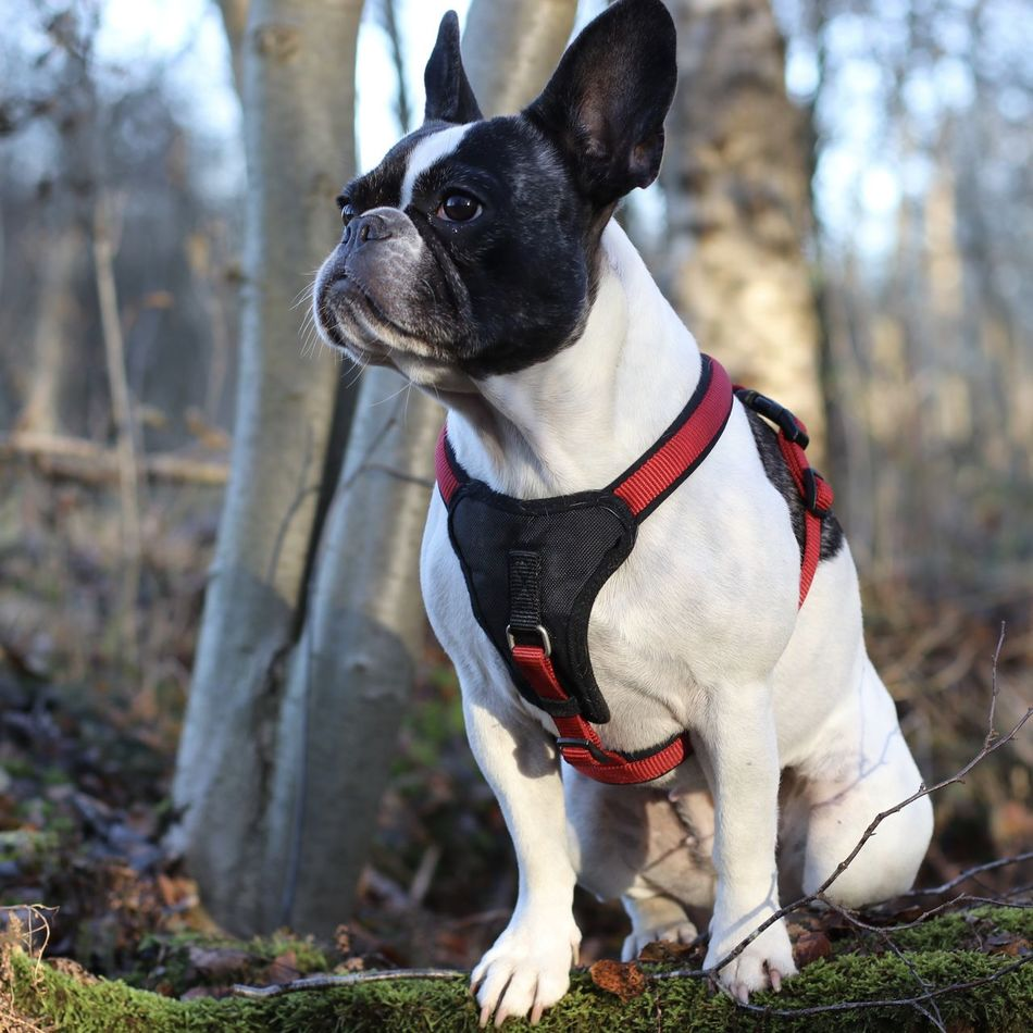 Bulldog Bulldog Francese Bulldog Francés Bulldog Français Bully Dog Dog Harness Dog In The Forest Dog In The Woods Dog Outside Französische Bulldogge  Französische Bulldogge Im Wald French Bulldog Frenchbulldog Frenchie Hund Hund Im Wald Hundegeschirr In The Forest In The Woods Niedlicher Hund Outdoors Portrait Sweet Dog  Wintersonne