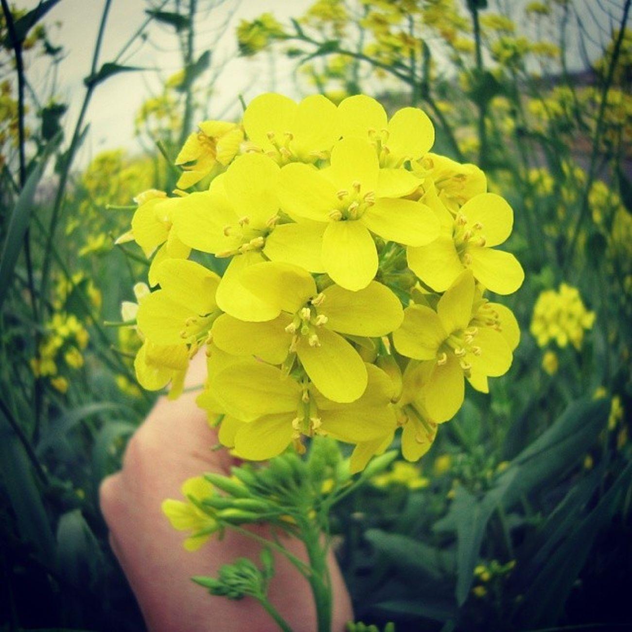 春がこのまま続けばいいのに。 菜の花 Spring Flower Bloom