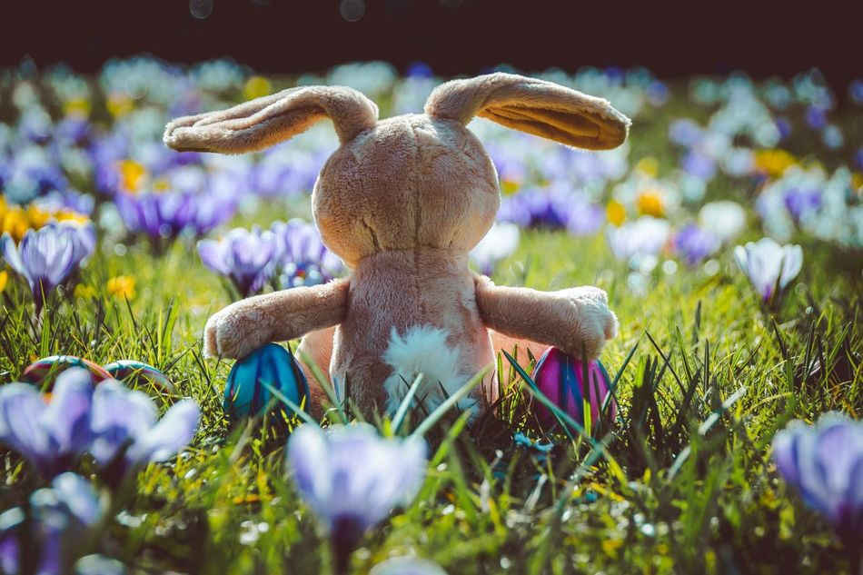Beautiful stock photos of osterhasen, Beauty In Nature, Blooming, Celebration, Crocus