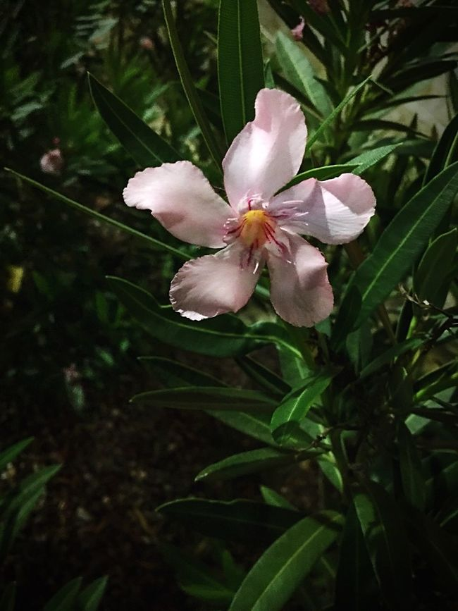 Flower Pinkflower🌸 Desertflower