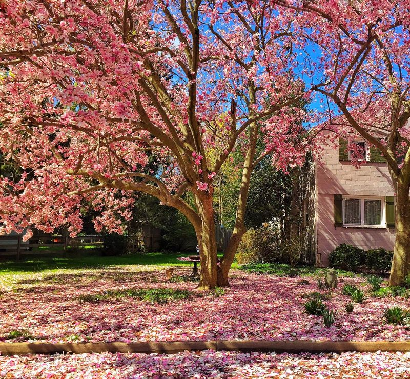 A beautiful mess Magnolia Flowers Yard Spring Spring Flowers Fallen Petals Spring Day