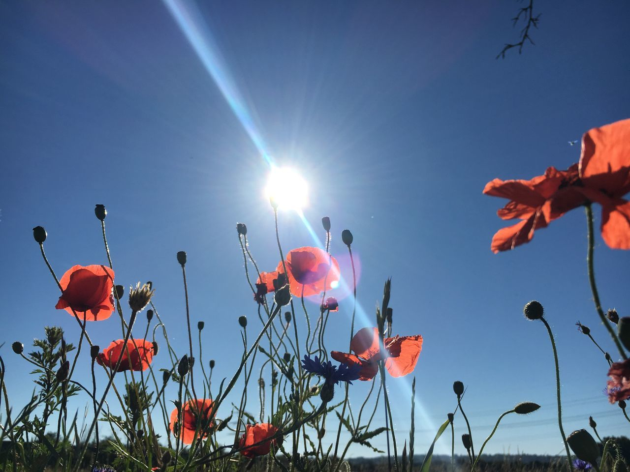 Growth Flower Nature Beauty In Nature Plant Fragility Sun Sunlight No People Freshness Low Angle View Petal Day Outdoors Sky Close-up Blooming Flower Head Poppy Poppies  Poppy Flowers