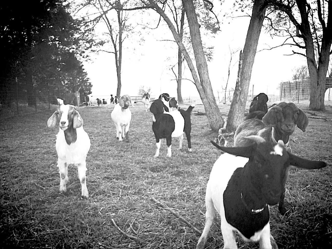 Shades Of Grey Showing Imperfection Animal Photography Boer Goat Capture The Moment Goat Life