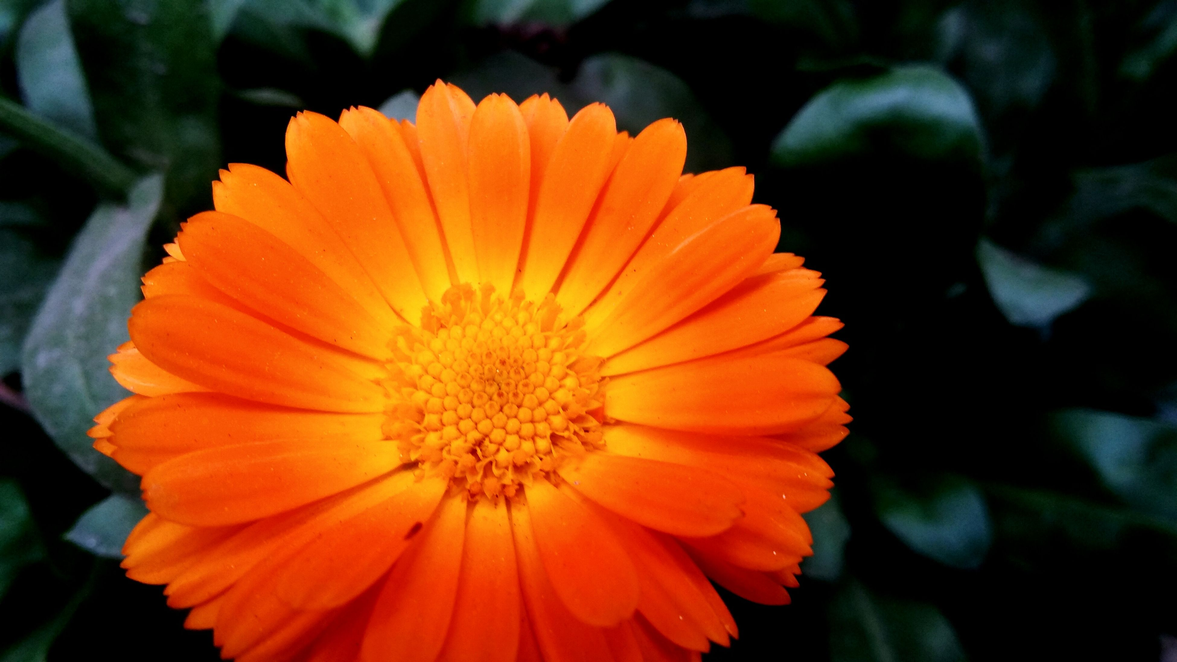 flower, petal, flower head, fragility, freshness, close-up, growth, beauty in nature, blooming, focus on foreground, pollen, orange color, single flower, nature, plant, yellow, in bloom, park - man made space, outdoors, stamen