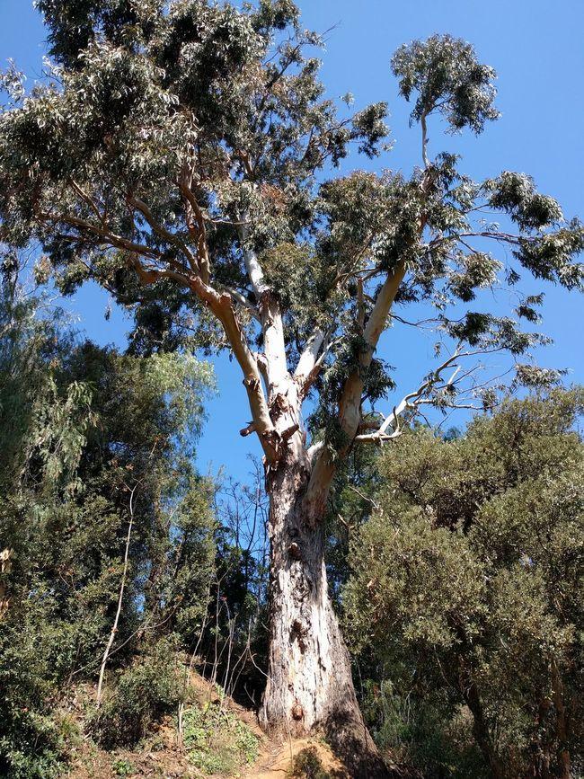 Eucalipto árbol Gigante