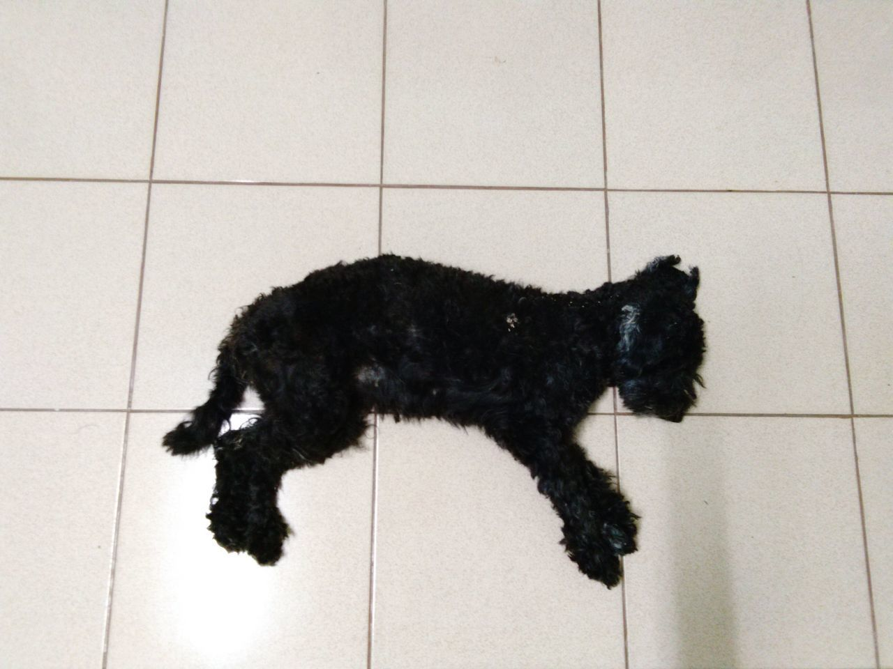 Pets One Animal Domestic Animals Black Color Mammal Dog Animal Domestic Cat Animal Themes Tiled Floor Cute Indoors  No People Feline Full Length Day