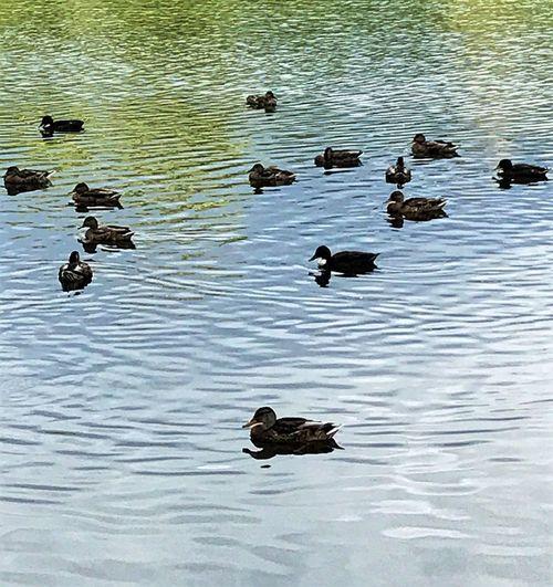 Swimming Bird Animals In The Wild Water Duck Animal Wildlife No People Lake Nature Animal Themes Outdoors Water Bird Day