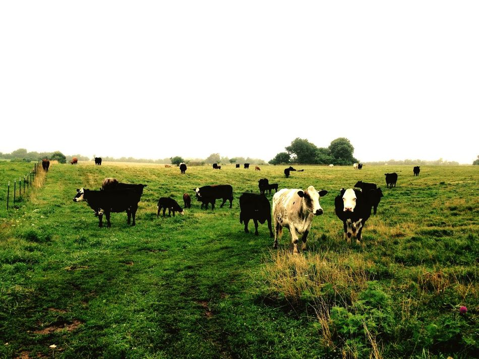 Good morning ladies Animal Themes Domestic Animals Livestock Field Copy Space Grass Full Length Clear Sky Domestic Cattle Mammal Grazing Green Color Herbivorous Tranquility Nature Pasture Day Grassy Tranquil Scene Farm Animal