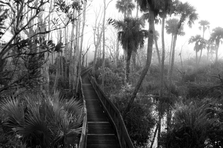 Boardwalk leads through a cypress hammock in the everglades of South Florida. Cabbage Palm Tree Cypress Palmetto South Florida Swamp Beauty In Nature Black And White Black And White Photography Boardwalk Everglades  Everglades National Park Tranquility Water