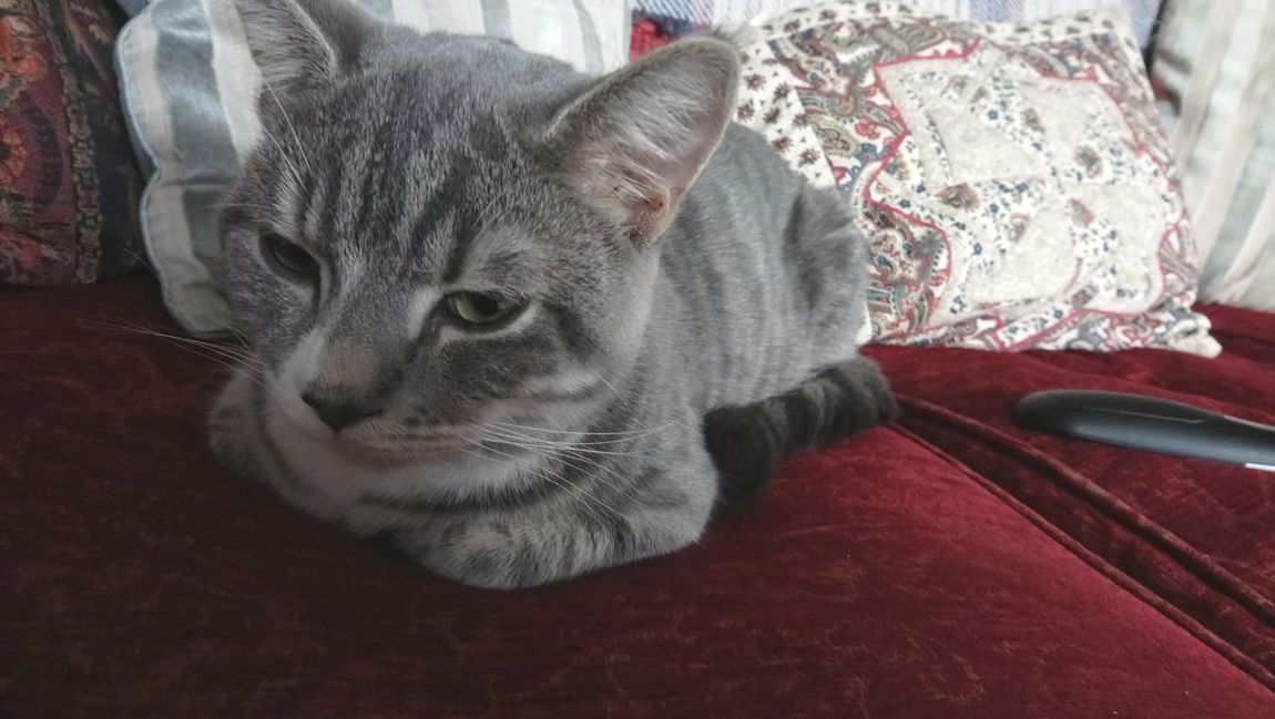 Mowgli. Stripy Cat Tiger Sofa Halfasleep Kitten Pets Domestic Cat Domestic Animals One Animal Indoors  Animal Themes Whisker Close-up