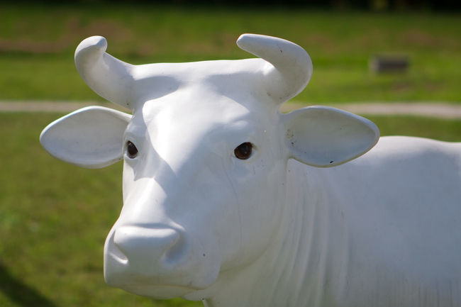 Artificial Cow Beauty In Nature Close-up Cow Day Flower Focus On Foreground Fragility Grass Growth Nature No People Outdoors Petal Plastic Cow Selective Focus White White Color