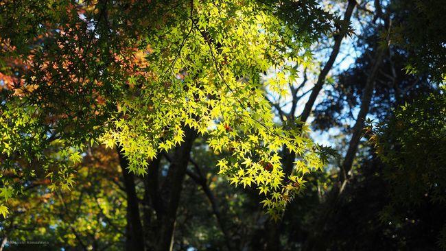 成田山公園 もみじ 紅葉を見に行こうよう 紅葉 Nature Photography Narita Nature Sunshine Photography Autumn Colors