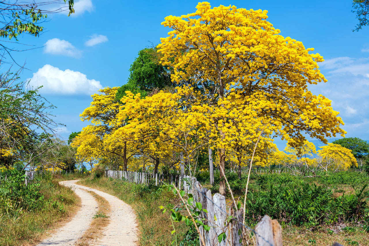 Yellow Guayacan tree in northern Colombia Beauty In Nature Cloud - Sky Colombia Day Dirt Road Grass Guayacan Guayacan Flowers Guayacan Tree Landscape Nature Outdoors Road Road Santa Marta Scenics Sky South America The Way Forward Tourism Tranquil Scene Travel Travel Destinations Tree Yellow