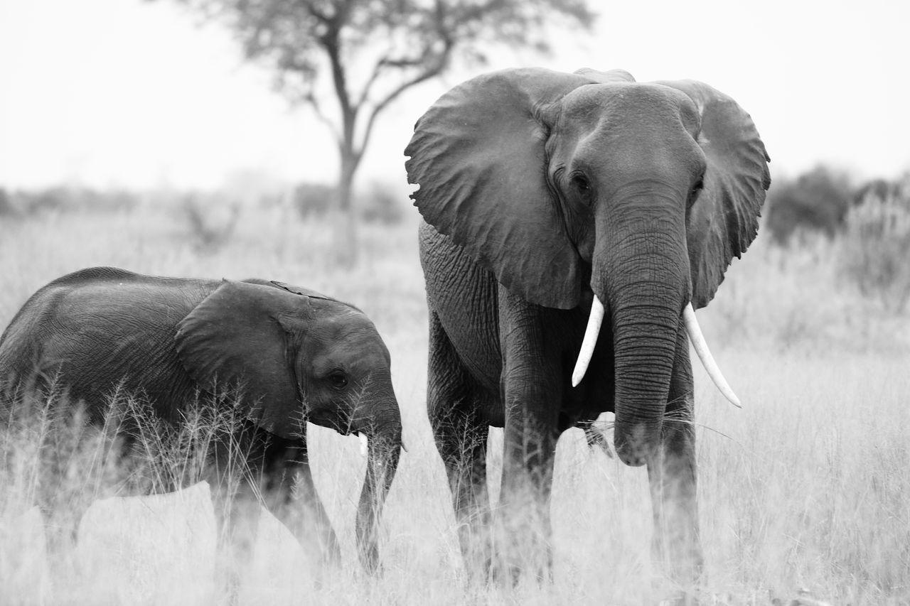 Beautiful stock photos of elefant, Animal Family, Animal Themes, Animal Trunk, Animal Wildlife