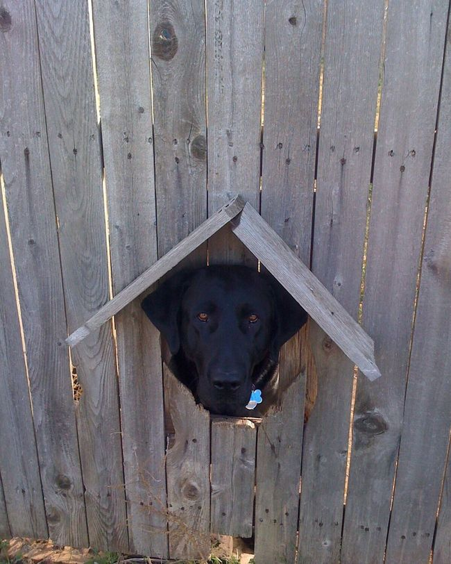 Our black Labrador Retriever peeking through a dog hole in our fence. Blacklabrador Blacklab Labrador Labrador Retriever LabradorRetriever Black Labrador Black Lab Dog Labradorable  Peekaboo Peek A Boo Peeking Peeking Through Fence Picoftheday Brown Eyes Photooftheday Pictureoftheday Pet Pet Photography  Animal Pets Of Eyeem Dogs Of EyeEm Nature
